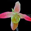 Phragmipedium Orchid Noirmont