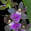"Orchid: Zygopetalum - Redvale ""Pretty Ann"""