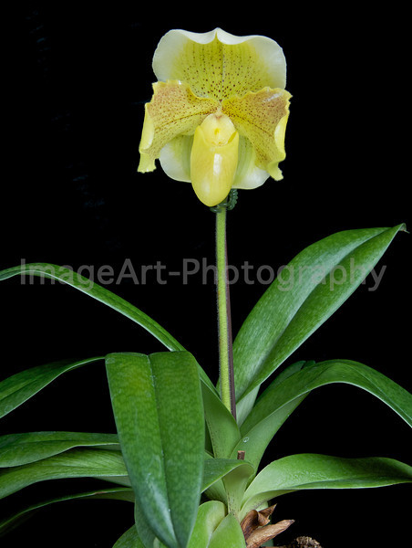 Complex Hybrid Lady Slipper Orchid - Paph. Gege Hughes x Ice Castle