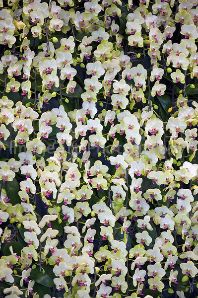 Phalaenopsis Fortune Saltzman 'Maple Bridge'