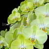 Phalaenopsis Kinu Breeze