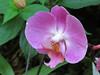 Lavender orchid.