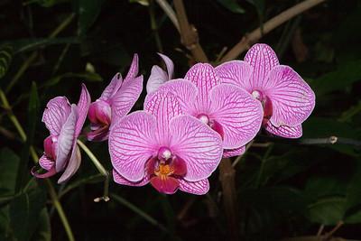 Light Violet Phalaenopsis Orchids, United States Botanic Garden, Washington, DC.