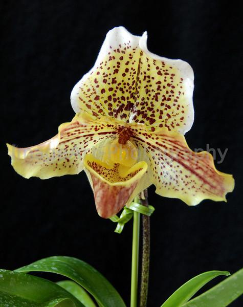 Hybrid Paphiopedilum Orchid