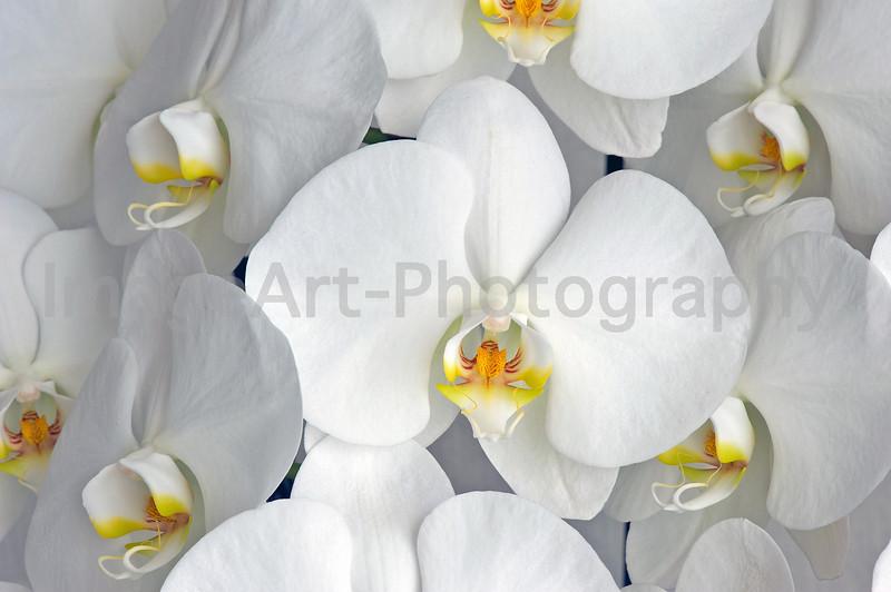 Moth Orchid - Phalaenopsis Sogo Yukidian 'V3'