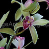 Miniature Cymbidium orchid flowers