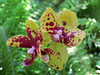 Yellow orchids with reddish-brown speckles.