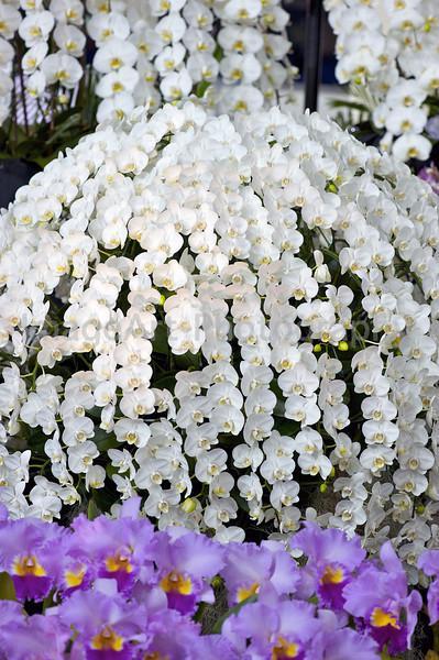 Phalaenopsis display