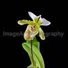 Paph. Spicerianum 'Bostocks' AM/RHS x 'St. Albans' CCM/RHS