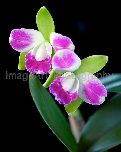 Blc. Village Chief North 'Green Genius'