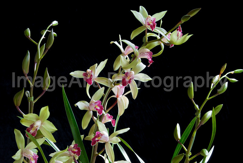 Sprays of miniature Cymbidium orchid flowers