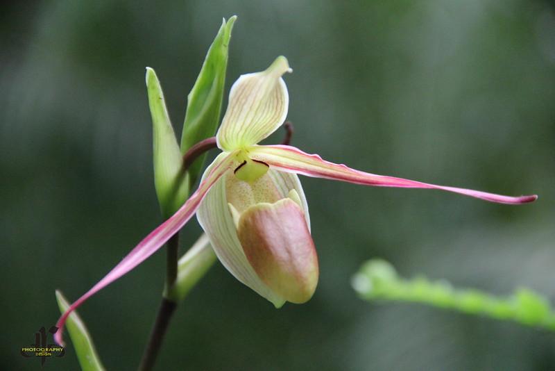 Paphiopedilum Orchid - Lady Slipper