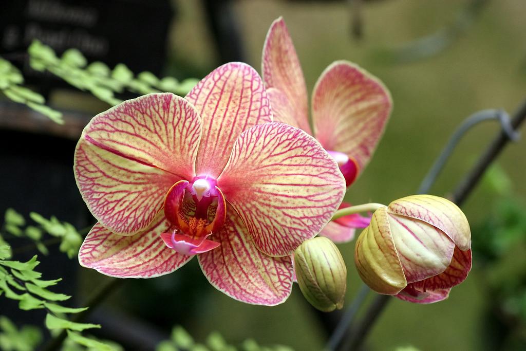 Phalaenopsis Orchids In M S Bristol Uk Stock Image