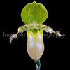 Paphiopedilum Primulinum Purpurascens