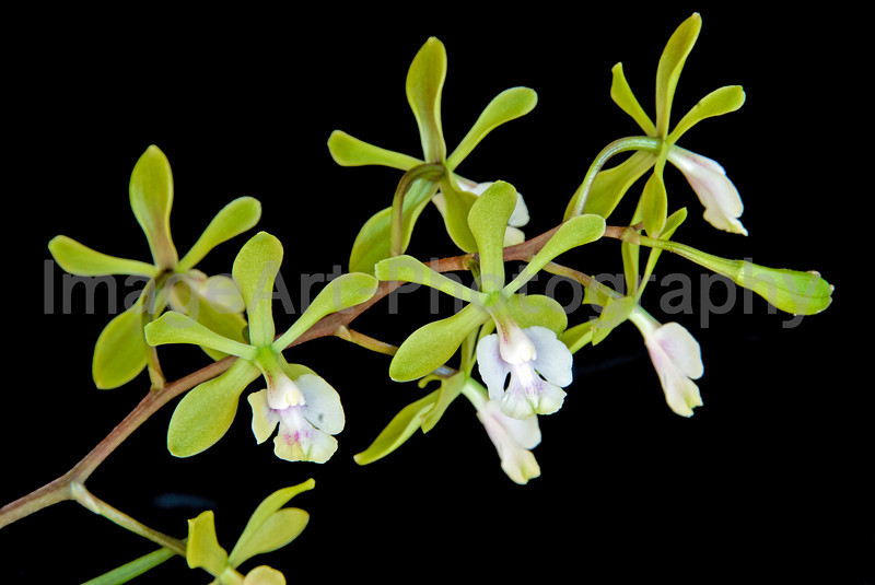 """Epidendrum Mabel Kanda """"M"""""""
