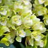 Green and white Cymbidiums
