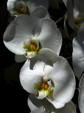 White orchids in the sunlight.
