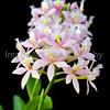 Epidendrum (Sakura Valley x Oriental Valley) 'Pink Pearl'