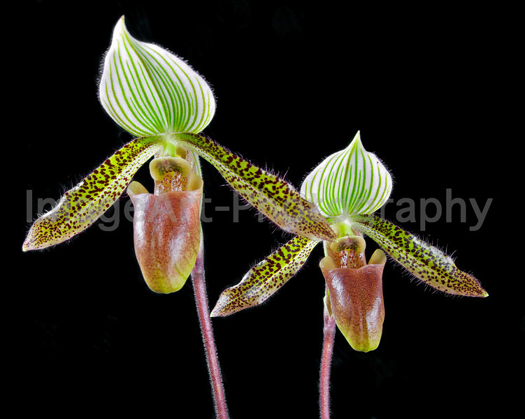 Paphiopedilum Wardii (Greensleeves x Chocolate Mint)