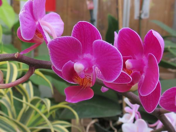 Lavender orchids.