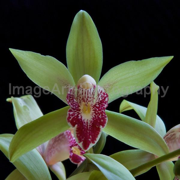 Miniature Cymbidium orchid flowers