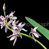 Epidendrum allemanoides