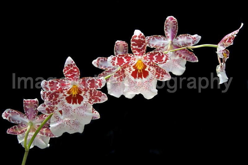 Orchid Vuylstekeara Cambria 'Lensing's Favorite' AM/AOS