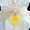 Paphiopedilum Rosy Dawn Superbum