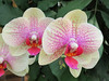 Cream colored orchids with pink speckling.