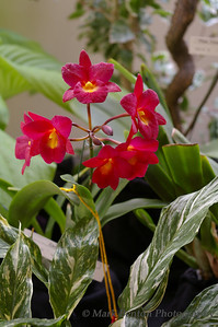 Red Orchid Blooms