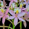 Epidendrum (Sakura Valley x Oriental Valley) x Pink Pearl