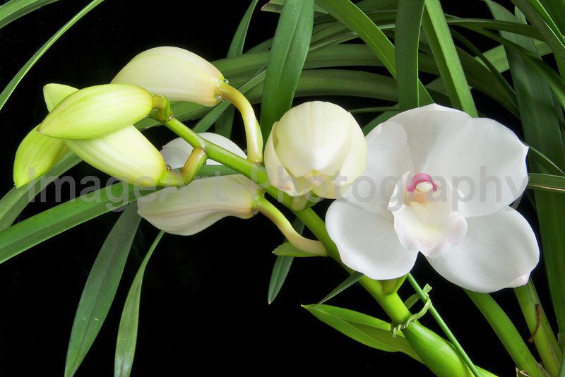 Cymbidium Lovely Angel 'The Two Virgins'