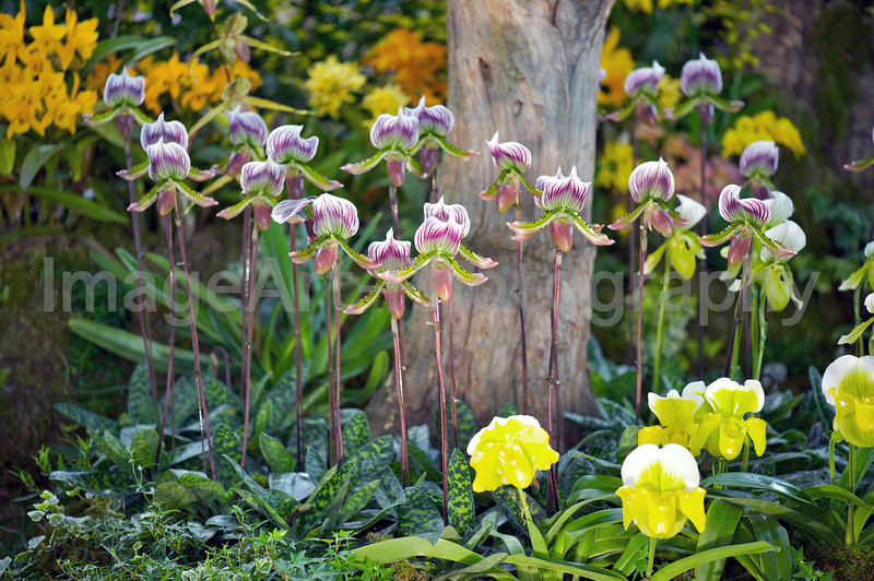 Slipper orchids on display