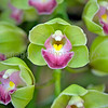 Green and pink cymbidium orchid
