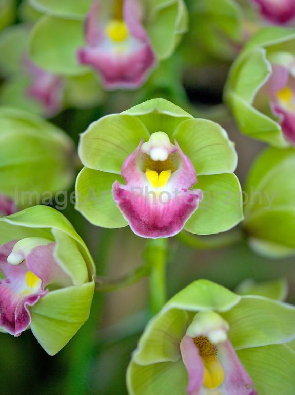 Green and pink cymbidium orchid
