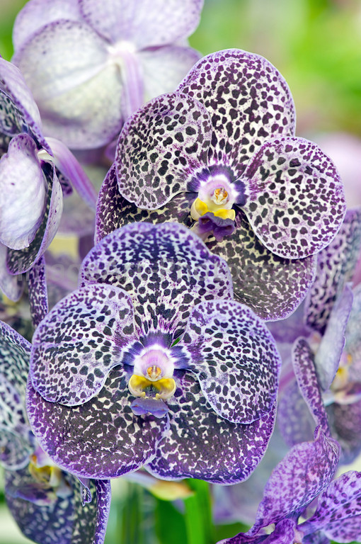 Vanda Gordon Dillon Black Spots