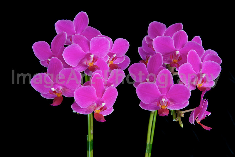 Pink Phalaenopsis Orchid