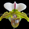 Paph Bruno Model HCC/AOS