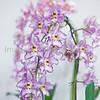 Odontioda Nichirei Lavender Dew 'Capriccio'