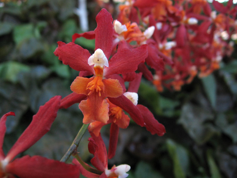 Colorful spray of red, orange and white orchids.