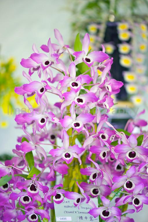 Dendrobium nobile 'Tougane'