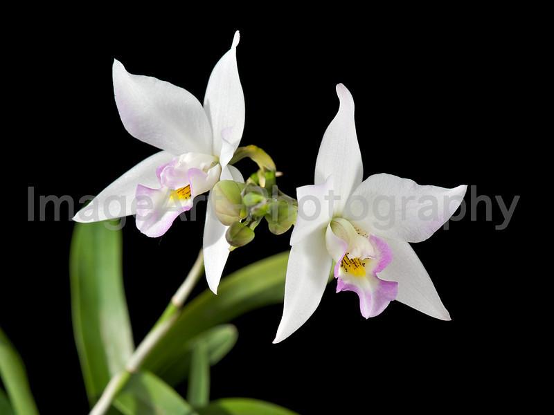 Dialaelia orchid Mizoguchi 'Princess Kiko' BM/JOGA