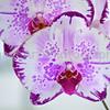 Doritaenopsis Arakaki Princess 'Arakaki #2'