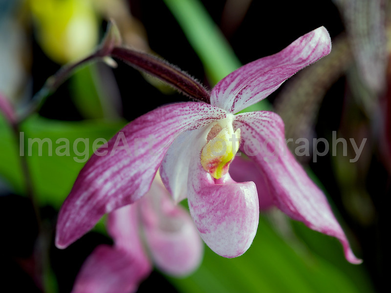 Pink Multifloral Orchid