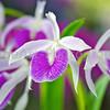 Brassocattleya orchid