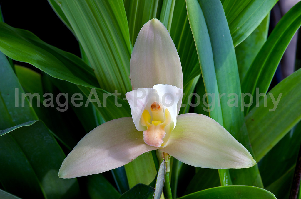 Lycaste Orchid