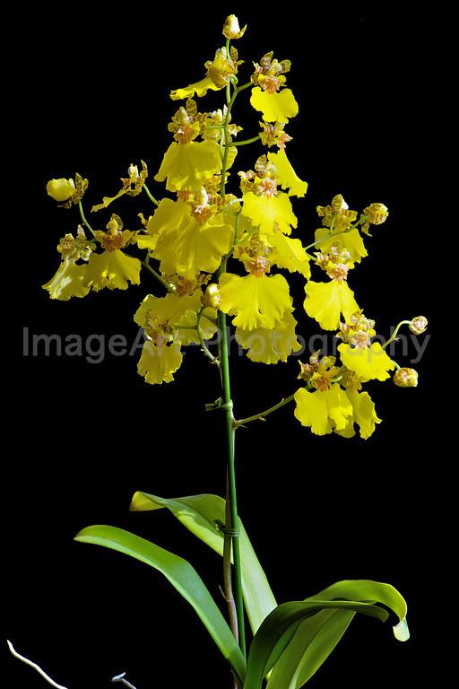 Yellow Oncidium