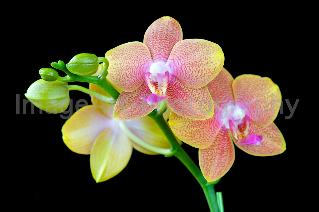 Phal. Brother Peterstar