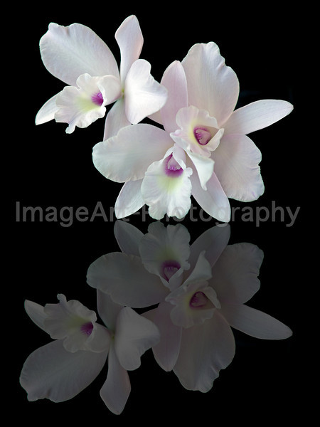 Laeliocattleya Happy Essence 'Pinkie'