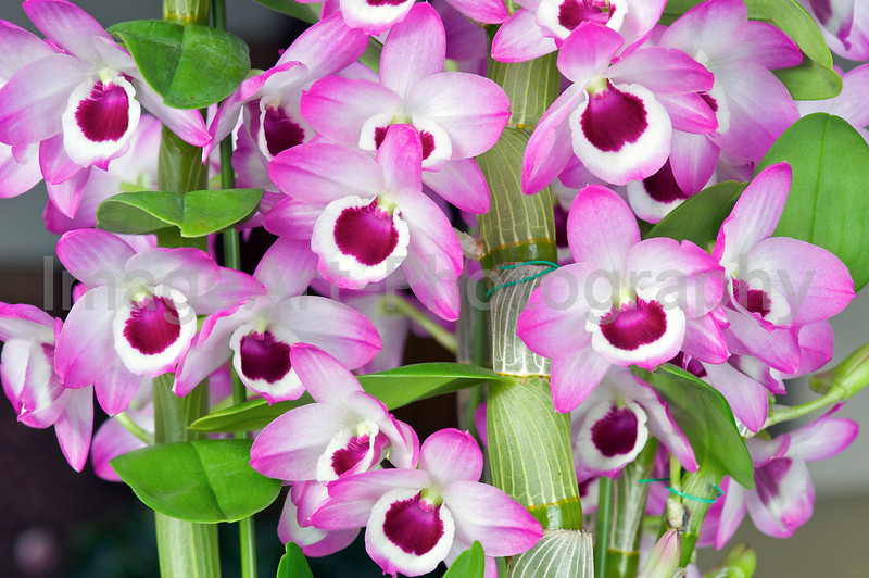 Dendrobium orchid 'Sweet Candy'